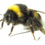 Bumblebee2-150x150