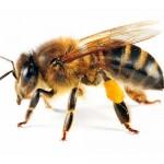 honeybee-150x150